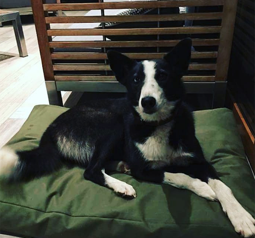 Mestiza de border collie en adopción responsable